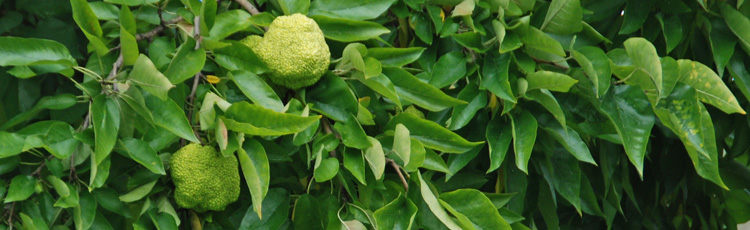 Osage-Orange-THUMB.jpg