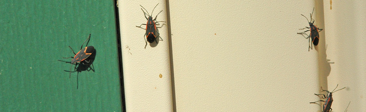 090915_Boxelder_Bugs_Congregating_on_the_House.jpg