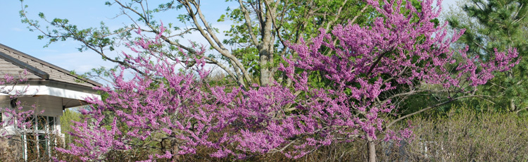2012_318_MGM_Redbud_Tree_a_Four_Season_Beauty.jpg