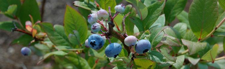 ornamental edible landscape fruit plants melinda myers