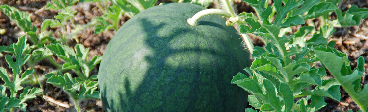 Harvesting-Watermelon-THUMB.jpg