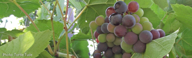Growing-Concord-Grapes-in-the-North-THUMB.jpg