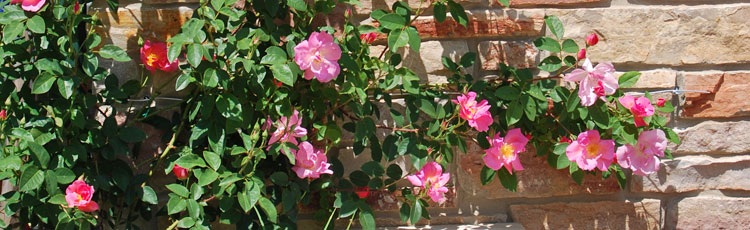 No-Flowers-on-Climbing-and-Shrub-Roses.jpg