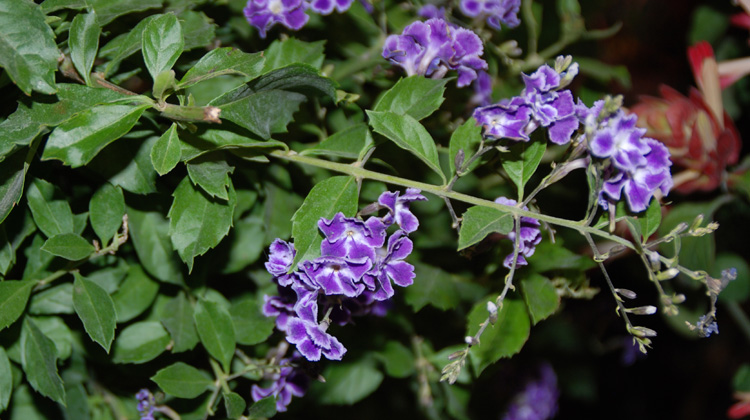 Caring-for-Duranta-Over-Winter.jpg
