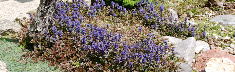 072514_Crown_Rot_Causing_Sudden_Wilting_and_Death_on_Ajuga_Bugleweed.jpg