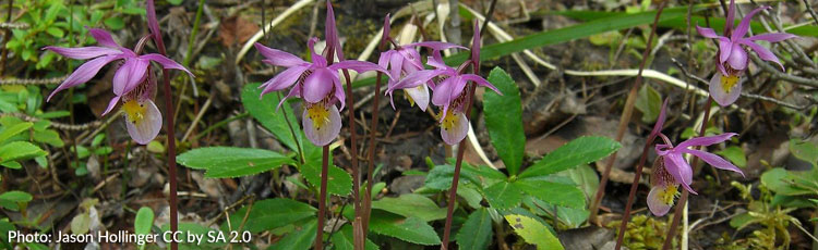 Fairy-Slipper-Orchid.jpg