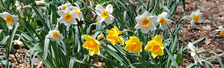 092520_Plant_and_Grow_a_Variety_of_Daffodils_for_Garden_Bouquets.jpg