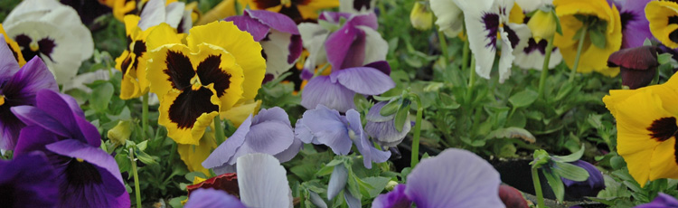 030117_National_Garden_Bureau_2017_Year_of_Pansy.jpg
