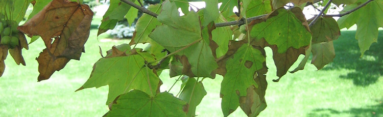 071315_Anthracnose_on_Ash_Maple_and_Oaks.jpg