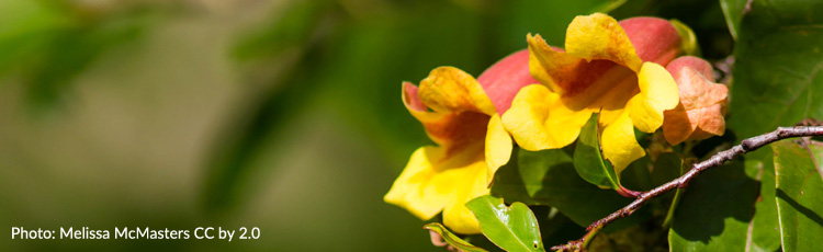 No-Flowers-on-Crossvine.jpg