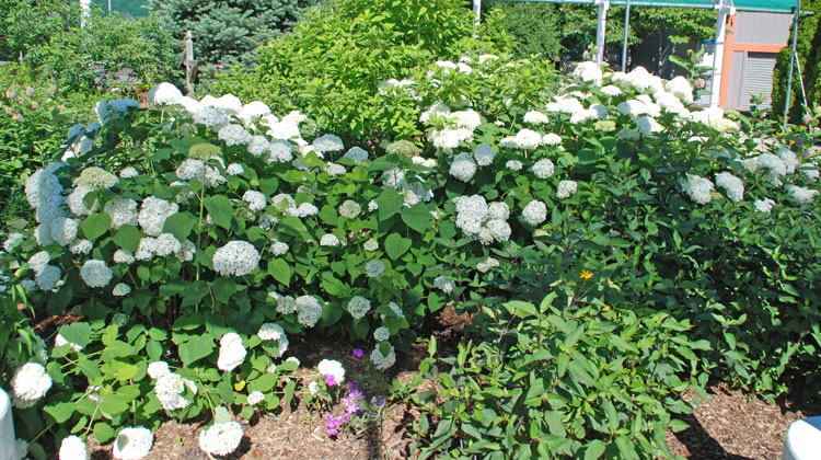 Hydrangeas-Selection-Planting--Care.jpg
