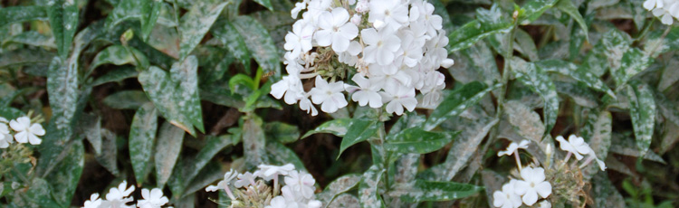 Powdery-Mildew-on-Phlox-THUMB.jpg