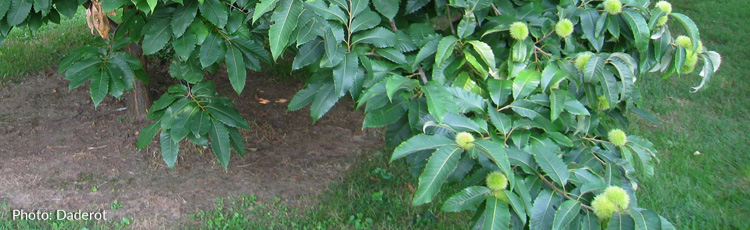 112013_Birth_Tree_The_Chestnut.jpg