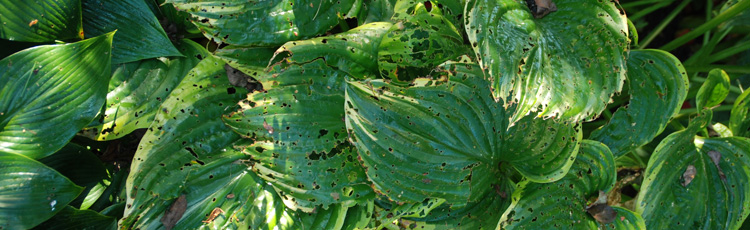 2012_377_MGM_Holes_in_Hosta_Leaves.jpg