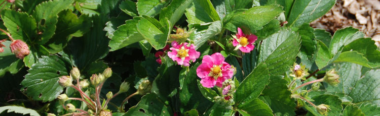 Strawberry flowers have turned pink melinda myers strawberry flowers have turned pinkg mightylinksfo