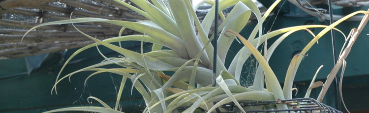 020718_Easy_Care_Tillandsia-THUMB.jpg