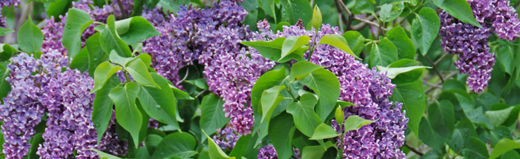 Poor-Growth-and-Flowering-of-Lilac-THUMB.jpg