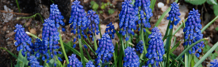 Best-Time-to-Transplant-Grape-Hyacinth-Bulbs-THUMB.jpg