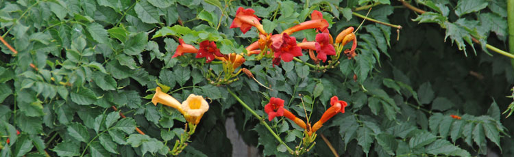Problems-Growing-Hummingbird-Vine.jpg