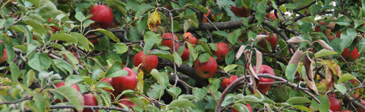 Black-Spots-and-Bloches-on-Apples.jpg