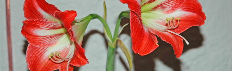 Starting-Amaryllis-from-Seed-THUMB.jpg
