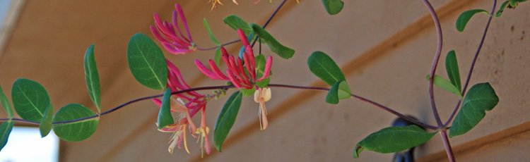 Honeysuckle-Leaves-Turning-Black-THUMB.jpg
