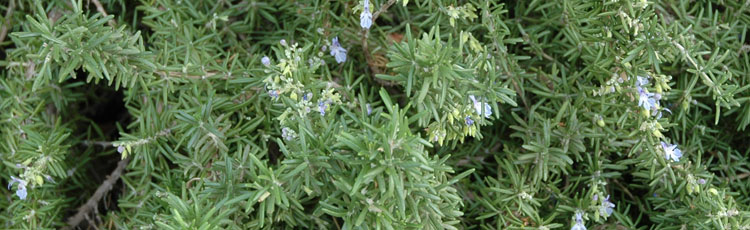 Overwintering-Rosemary-is-Wilting-and-Dying.jpg
