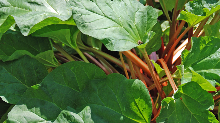 Growing-Rhubarb-in-a-Container.jpg