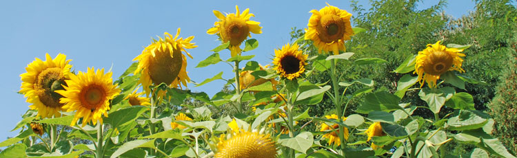 061518_Grow_Your_Own_Sunflower_House_or_Fort.jpg