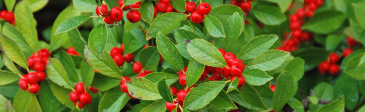 101718_Berry_Plants_for_Fall_and_Winter_Beauty-thumb.jpg