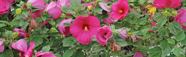 Insect-Eating-Hibiscus-Leaves-THUMB.jpg