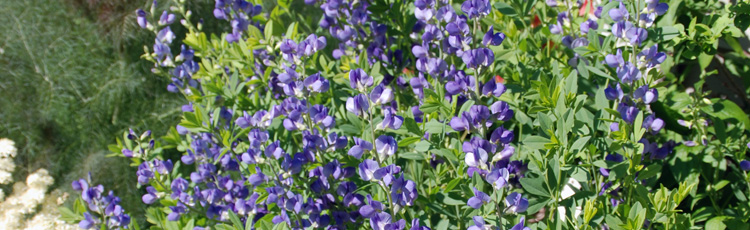 2012_397_MGM_Curled_Leaves_on_Baptisia.jpg