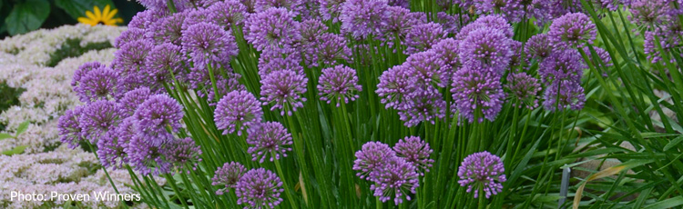 010818_Millenium_Allium_2018_Perennial_Plant_of_the_Year-THUMB.jpg