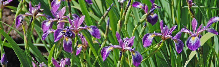 Iris-for-Wet-Sites.jpg