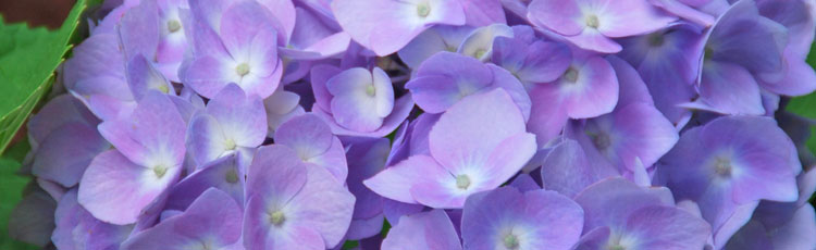 062018_Turning_Hydrangeas_Blue_or_Pink.jpg