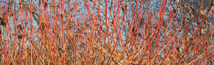 013019_Shrubs_with_Attractive_Bark_Form_and_Thorns.jpg