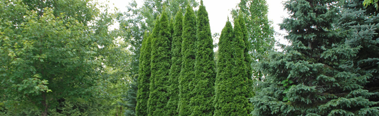 Arborvitae-for-Screening---THUMB.jpg