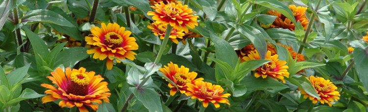 Deformed-Zinnia-Flower-THUMB.jpg