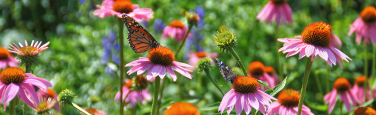 050914_Managing_Self_seeding_Perennials.jpg
