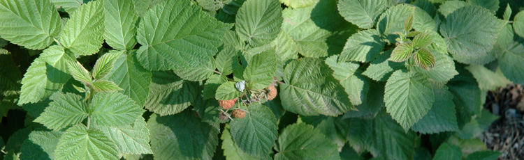 2012_370_MGM_Summer_Pruning_of_Raspberries.jpg