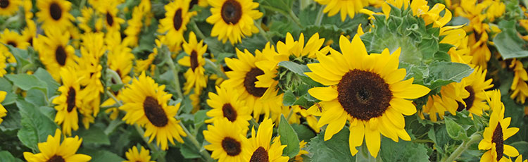012021_Grow_Sunflowers_in_This_Years_Garden.jpg