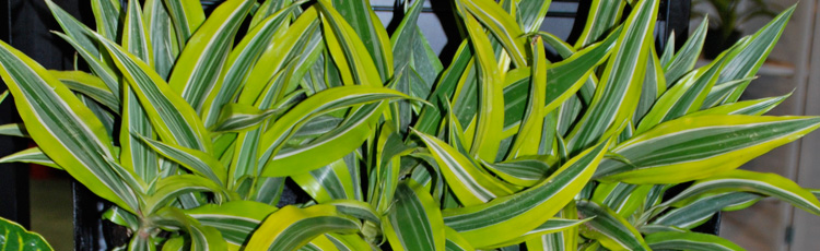 041917_Grow_Colorful_Unique_Dracaenas_Indoors.jpg