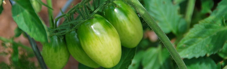Late-Season-Care-of-Tomato-Plants-and-Green-Tomatoes-THUMB.jpg