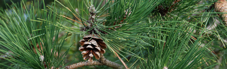 Problem-with-Austrian-Pine-THUMB.jpg