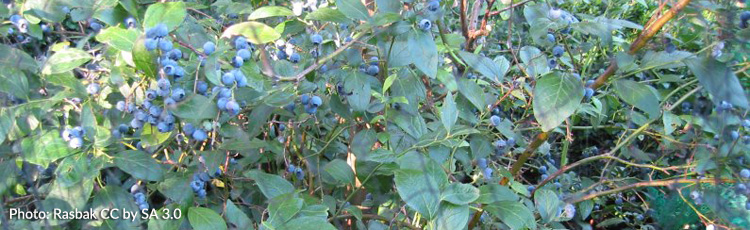Growing-Blueberries-THUMB.jpg