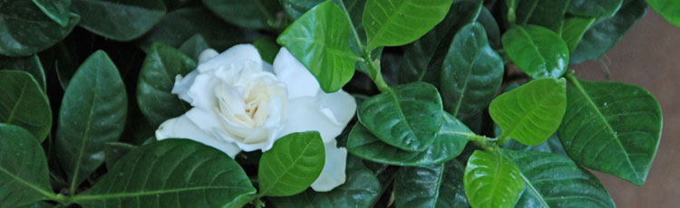 Leaves-of-Gardenia-Turning-Yellow.jpg