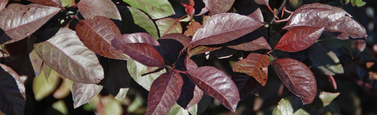 Purpleleaf-Sandcherry-Leaves-Have-Small-Holes-and-Are-Shriveling-THUMB.jpg