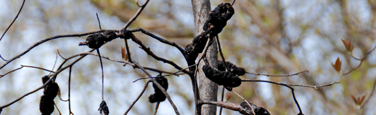 Black-Growths-on-Plum-Tree.jpg