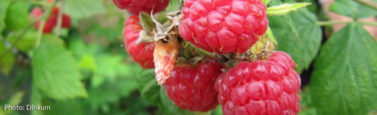 Pruning-Everbearing-Raspberries-THUMB.jpg