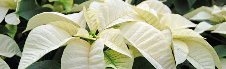 120817_National_Poinsettia_Day_Dec_12.jpg